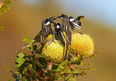 White-cheeked Honeyeater (Phylidonyris nigra) group squabbling, Cheyne Beach, Western Australia, Australia
