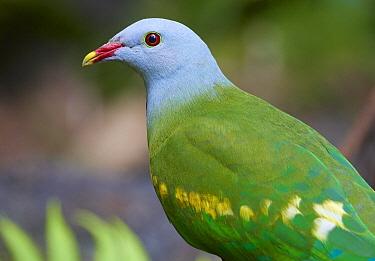Wompoo Fruit-Dove (Ptilinopus magnificus), Malanda, Queensland, Australia
