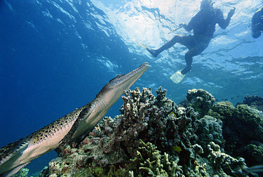 Saltwater Crocodile (Crocodylus porosus) with diver, New Britain Island, Papua New Guinea  -  Mike Parry