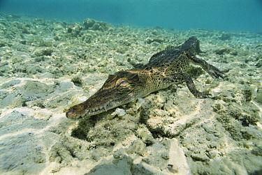 Saltwater Crocodile (Crocodylus porosus) walking along ocean floor, New Britain Island, Papua New Guinea  -  Mike Parry