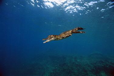 Saltwater Crocodile (Crocodylus porosus) swimming underwater, New Britain Island, Papua New Guinea  -  Mike Parry