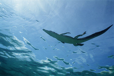 Saltwater Crocodile (Crocodylus porosus) juvenile, New Britain Island, Papua New Guinea  -  Mike Parry
