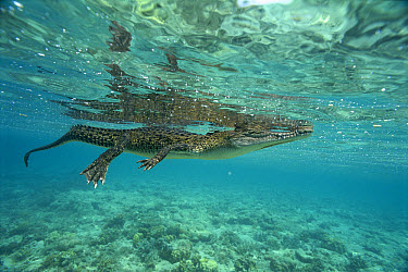 Saltwater Crocodile (Crocodylus porosus) floating on surface, New Britain Island, Papua New Guinea  -  Mike Parry