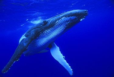 Humpback Whale (Megaptera novaeangliae) swimming, Tonga