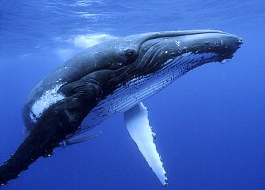 Humpback Whale (Megaptera novaeangliae) near surface, Tonga  -  Mike Parry