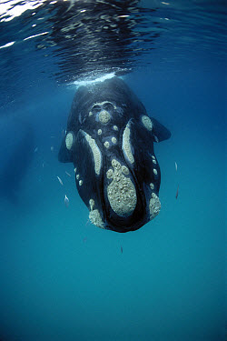 Southern Right Whale (Eubalaena australis) near surface, western Australia  -  Mike Parry