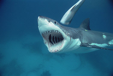 Great White Shark (Carcharodon carcharias) open jaw, Neptune Islands, South Australia  -  Mike Parry