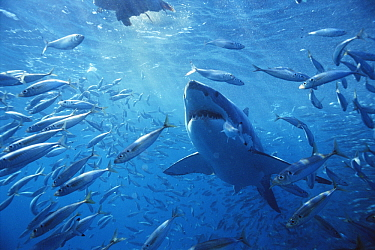 Great White Shark (Carcharodon carcharias) swimming through school of fish, Neptune Islands, Australia