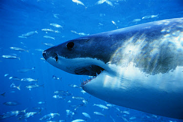 Great White Shark (Carcharodon carcharias) side view of face, Neptune Islands South Australia  -  Mike Parry