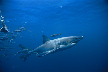 Great White Shark (Carcharodon carcharias), Neptune Islands, southern Australia  -  Mike Parry