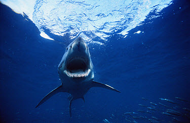 Great White Shark (Carcharodon carcharias) with open jaw, Neptune Islands, South Australia  -  Mike Parry