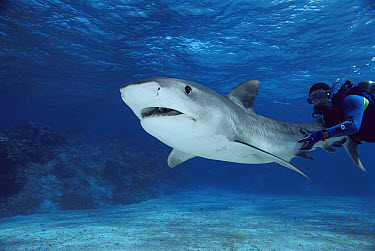 Tiger Shark (Galeocerdo cuvieri) with underwater diver holding tail, Marion Reef, Coral Sea, Australia  -  Mike Parry