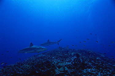 Silver-tip Shark (Carcharhinus albimarginatus) pair, New Ireland, Papua New Guinea  -  Mike Parry