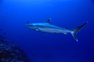 Silver-tip Shark (Carcharhinus albimarginatus) profile, New Ireland, Papua New Guinea  -  Mike Parry