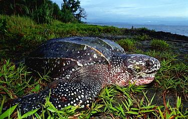 Leatherback Sea Turtle (Dermochelys coriacea) on land returning to sea after nesting, Huon Gulf, Papua New Guinea  -  Mike Parry