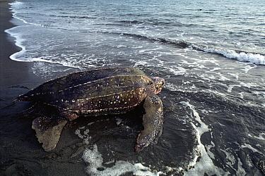 Leatherback Sea Turtle (Dermochelys coriacea) heading to sea, Huon Gulf, Papua New Guinea  -  Mike Parry