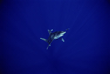 Oceanic White-tip Shark (Carcharhinus longimanus) with symbiotic Pilot Fish (Naucrates ductor), Hawaii  -  Mike Parry