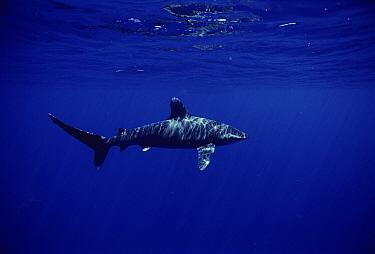 Oceanic White-tip Shark (Carcharhinus longimanus) portrait, Hawaii  -  Mike Parry