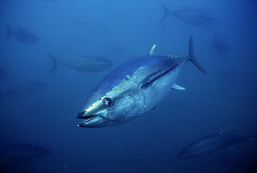 Southern Bluefin Tuna (Thunnus maccoyii) underwater, South Australia  -  Mike Parry