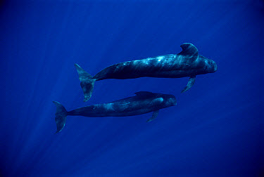 Short-finned Pilot Whale (Globicephala macrorhynchus) pair, Hawaii  -  Mike Parry