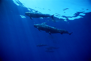 Short-finned Pilot Whale (Globicephala macrorhynchus) group, Hawaii  -  Mike Parry