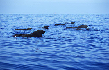 Short-finned Pilot Whale (Globicephala macrorhynchus) group surfacing, Hawaii  -  Mike Parry