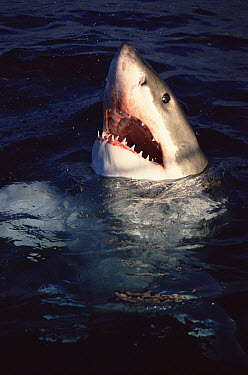 Great White Shark (Carcharodon carcharias) breaking surface of water to feed, Neptune Islands, South Australia  -  Mike Parry