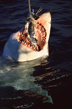 Great White Shark (Carcharodon carcharias) feeding from baited line, Neptune Islands, South Australia  -  Mike Parry