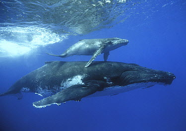 Humpback Whale (Megaptera novaeangliae) mother and calf, Tonga  -  Mike Parry