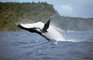 Humpback Whale (Megaptera novaeangliae) breaching, Tonga  -  Mike Parry