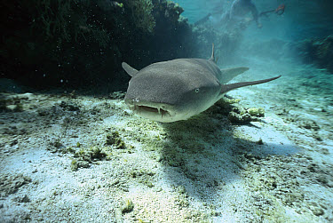 Tawny Nurse Shark (Nebrius ferrugineus), Great Barrier Reef, Queensland, Australia  -  Mike Parry