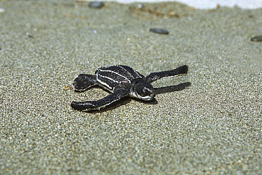 Leatherback Sea Turtle (Dermochelys coriacea) hatchling on sand, Huon Gulf, Papua New Guinea  -  Mike Parry