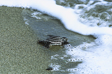 Leatherback Sea Turtle (Dermochelys coriacea) hatchling entering ocean, Huon Gulf, Papua New Guinea  -  Mike Parry