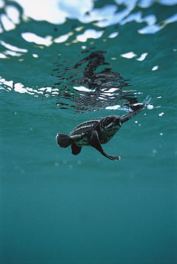 Leatherback Sea Turtle (Dermochelys coriacea) hatchling swimming, Huon Gulf, Papua New Guinea  -  Mike Parry