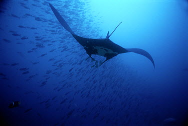 Manta Ray (Manta birostris) swimming with school of fish, Malpelo Island, Colombia  -  Mike Parry