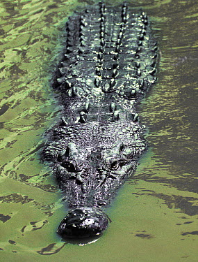 Saltwater Crocodile (Crocodylus porosus) at surface, Huon Gulf, Papua New Guinea  -  Mike Parry
