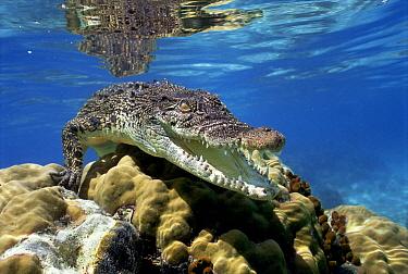 Saltwater Crocodile (Crocodylus porosus) underwater, South Australia.  -  Mike Parry