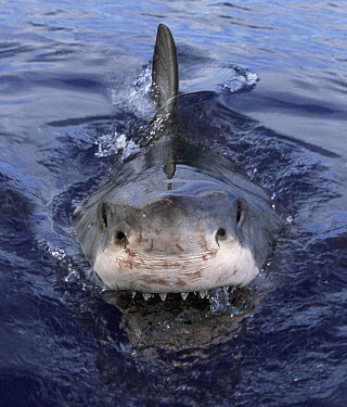 Great White Shark (Carcharodon carcharias) at surface, Cape Province, South Africa  -  Mike Parry