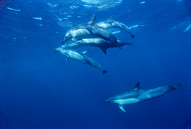 Short-beaked Common Dolphin (Delphinus delphis delphis) pod underwater, Wild Coast, Cape Province, South Africa  -  Mike Parry