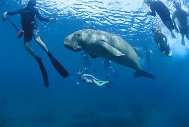Dugong (Dugong dugon) surrounded by snorkelers, Lamen Bay, Epi Island, Vanuatu  -  Mike Parry