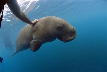 Dugong (Dugong dugon) photographer reaches out and touches a curious Dugong, Lamen Bay, Epi Island, Vanuatu  -  Mike Parry