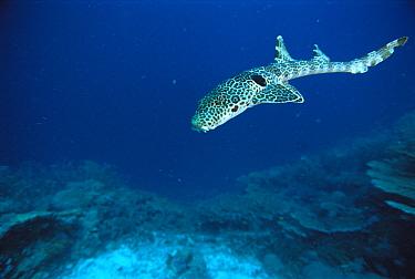 Epaulette Shark (Hemiscyllium ocellatum), Milne Bay, Papua New Guinea  -  Mike Parry