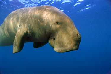 Dugong (Dugong dugon), Lamen Bay, Epi Island, Vanuatu  -  Mike Parry