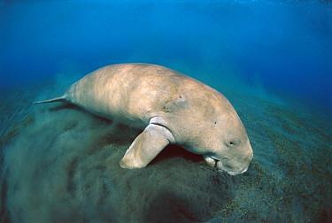 Dugong (Dugong dugon) feeding on sea grass, Lamen Bay, Epi Island, Vanuatu  -  Mike Parry