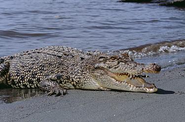 Saltwater Crocodile (Crocodylus porosus) at shoreline, Oro Bay, Papua New Guinea  -  Mike Parry