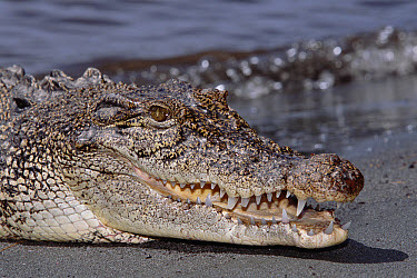 Saltwater Crocodile (Crocodylus porosus) close-up, head, Oro Bay, Papua New Guinea  -  Mike Parry