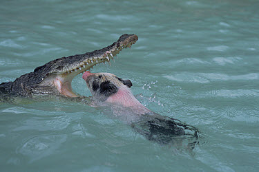 Saltwater Crocodile (Crocodylus porosus) attacking pig, Oro Bay, Papua New Guinea  -  Mike Parry