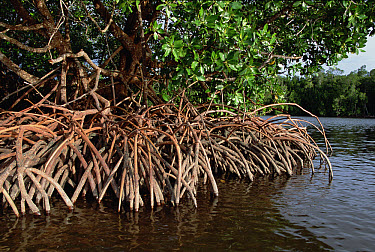 Spider Mangroves (Rhizophora stylosa) provide shade, trap and stabilize sediments, recycle nutrients and provide protective habitat for many species, Oro Bay, Papua New Guinea  -  Mike Parry