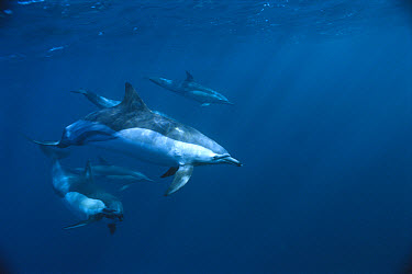 Short-beaked Common Dolphin (Delphinus delphis delphis), Wild Coast, Cape Province, South Africa  -  Mike Parry