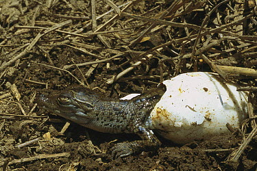 Saltwater Crocodile (Crocodylus porosus) hatching from egg, Huon Gulf, Papua New Guinea  -  Mike Parry